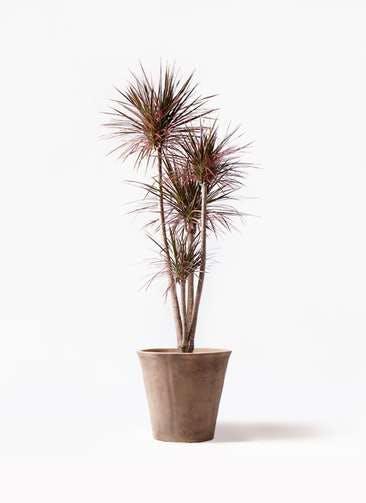 観葉植物 ドラセナ コンシンネ レインボー 10号 ストレート ルーガ アンティコ ソリッド 付き