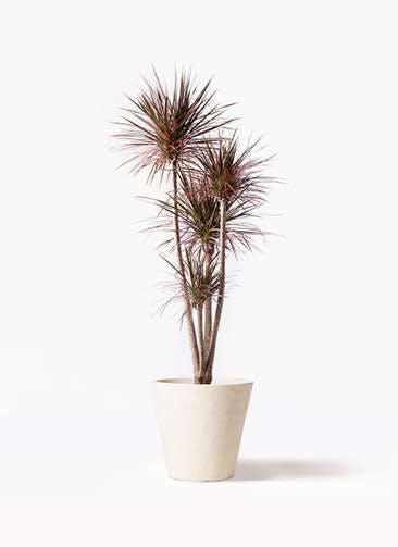 観葉植物 ドラセナ コンシンネ レインボー 10号 ストレート フォリオソリッド クリーム 付き