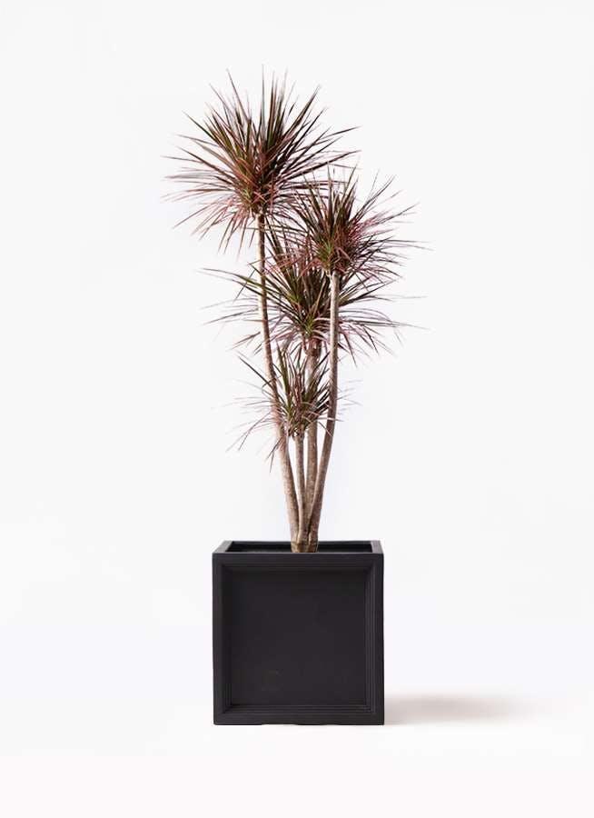 観葉植物 ドラセナ コンシンネ レインボー 10号 ストレート ブリティッシュキューブ 付き