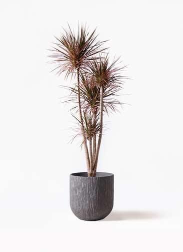 観葉植物 ドラセナ コンシンネ レインボー 10号 ストレート カルディナダークグレイ 付き