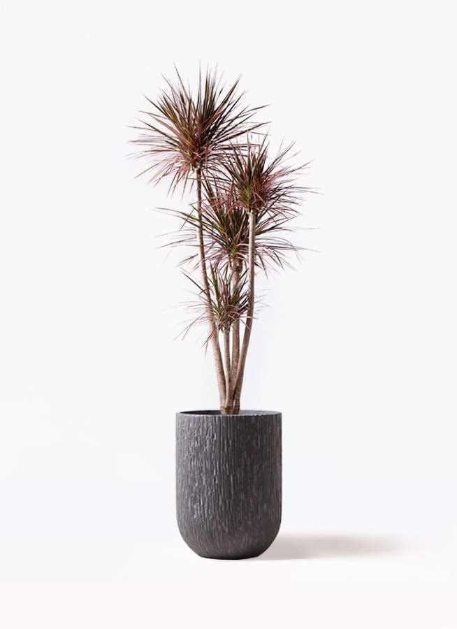 観葉植物 ドラセナ コンシンネ レインボー 10号 ストレート カルディナトールダークグレイ 付き