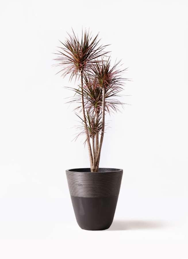 観葉植物 ドラセナ コンシンネ レインボー 10号 ストレート ジュピター 黒 付き