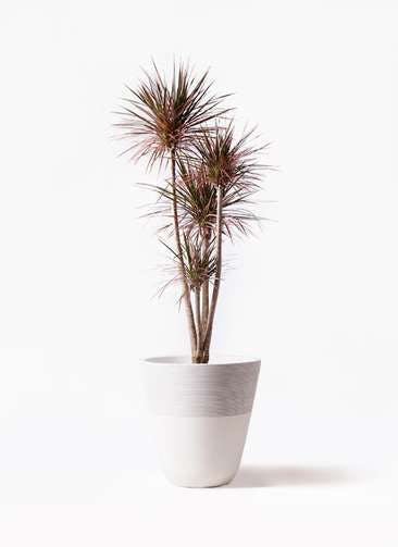 観葉植物 ドラセナ コンシンネ レインボー 10号 ストレート ジュピター 白 付き