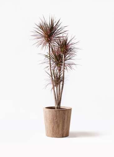 観葉植物 ドラセナ コンシンネ レインボー 10号 ストレート ウッドプランター 付き