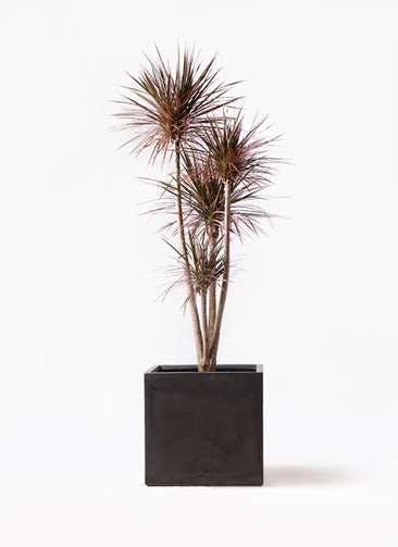 観葉植物 ドラセナ コンシンネ レインボー 10号 ストレート ファイバークレイ キューブ 付き