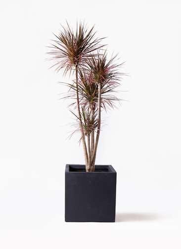 観葉植物 ドラセナ コンシンネ レインボー 10号 ストレート ベータ キューブプランター 黒 付き