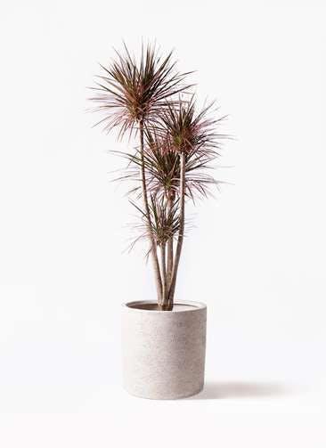 観葉植物 ドラセナ コンシンネ レインボー 10号 ストレート サンディ シリンダー 白 付き
