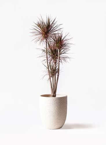 観葉植物 ドラセナ コンシンネ レインボー 10号 ストレート ビアスアルトエッグ 白 付き
