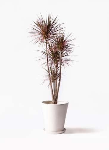 観葉植物 ドラセナ コンシンネ レインボー 10号 ストレート サブリナ 白 付き