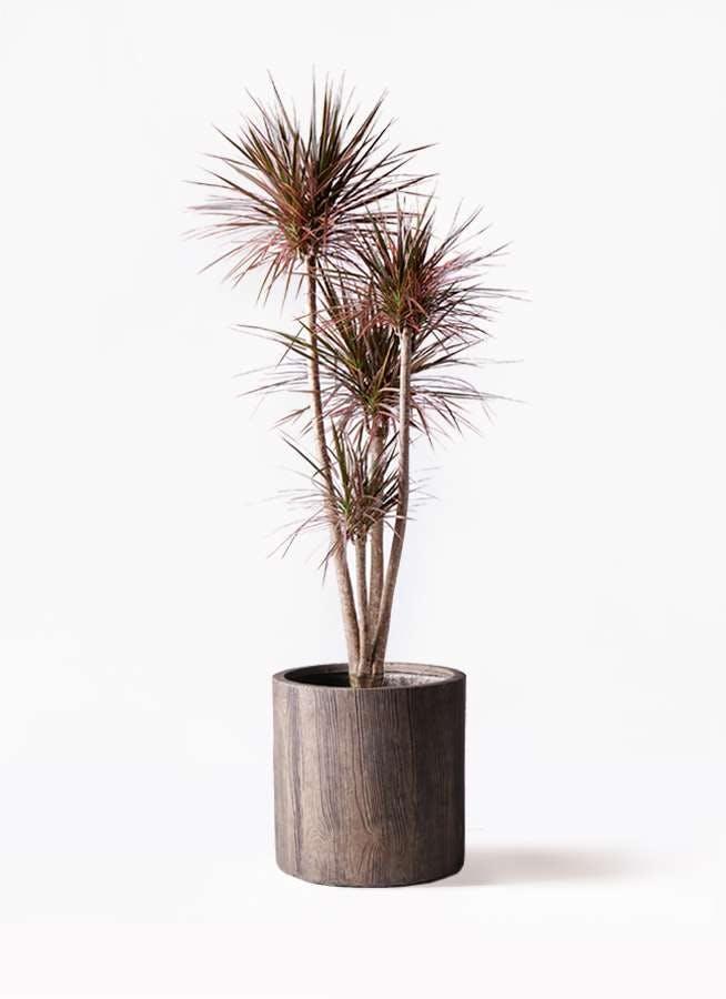 観葉植物 ドラセナ コンシンネ レインボー 10号 ストレート アルファシリンダープランター 付き