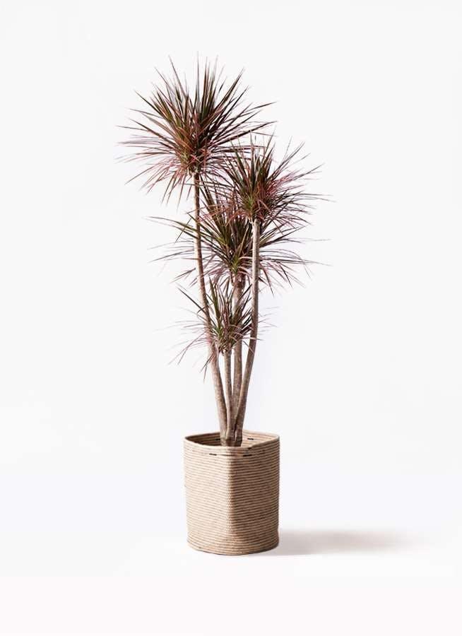 観葉植物 ドラセナ コンシンネ レインボー 10号 ストレート リブバスケットNatural 付き