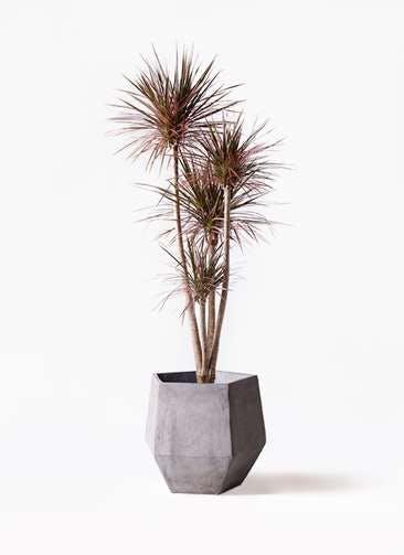 観葉植物 ドラセナ コンシンネ レインボー 10号 ストレート ファイバークレイGray 付き