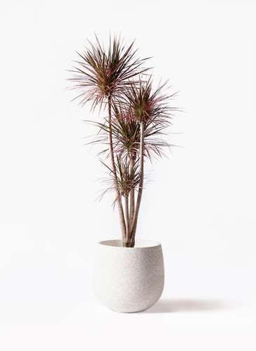 観葉植物 ドラセナ コンシンネ レインボー 10号 ストレート エコストーンwhite 付き