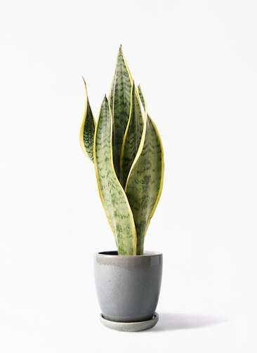 観葉植物 サンスベリア 4号 トラノオ アステア トール ライトグレー 付き