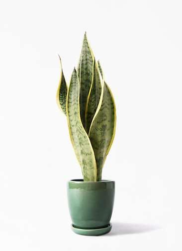 観葉植物 サンスベリア 4号 トラノオ アステア トール グリーン 付き