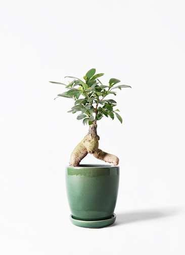 観葉植物 ガジュマル 4号 股仕立て アステア トール グリーン 付き