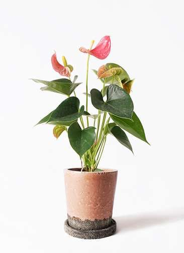 観葉植物 アンスリウム 4号 ピンクチャンピオン ヴィフポット サーモンピンク 付き