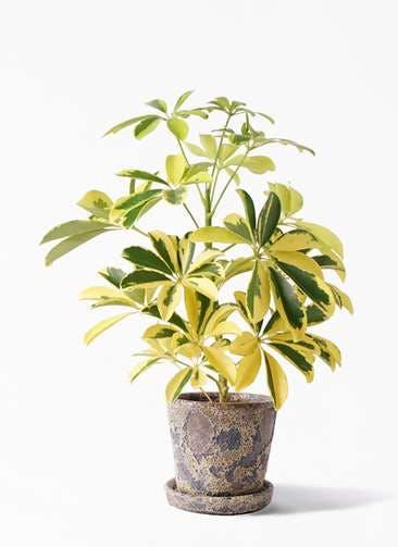 観葉植物 カポック(シェフレラ) 4号 斑入り ハレー カーキー 付き