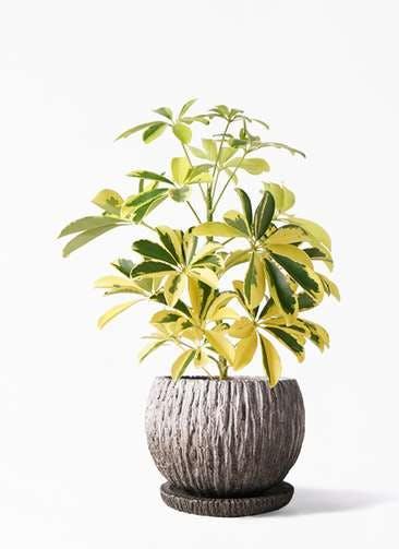 観葉植物 カポック(シェフレラ) 4号 斑入り ストーン ウェア セラミック 付き