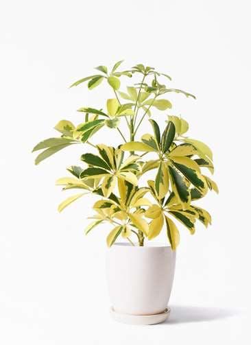 観葉植物 カポック(シェフレラ) 4号 斑入り アステア トール ホワイト 付き