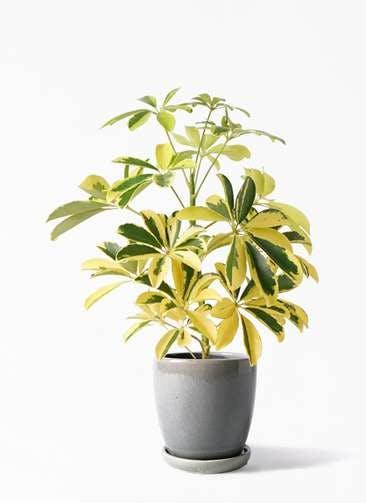観葉植物 カポック(シェフレラ) 4号 斑入り アステア トール ライトグレー 付き