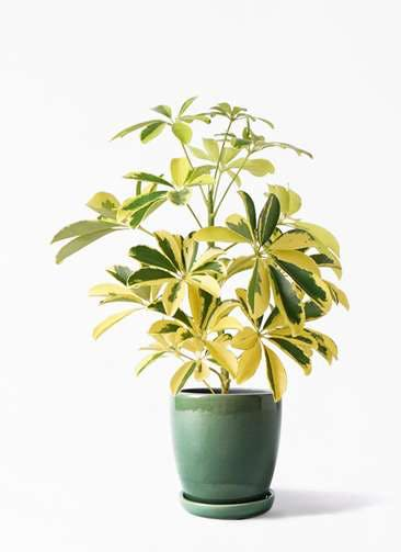 観葉植物 カポック(シェフレラ) 4号 斑入り アステア トール グリーン 付き