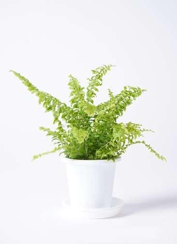 観葉植物 ネフロピレス 3.5号 プラスチック鉢
