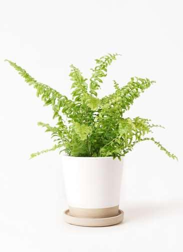 観葉植物 ネフロピレス 3.5号 マット グレーズ テラコッタ ホワイト 付き