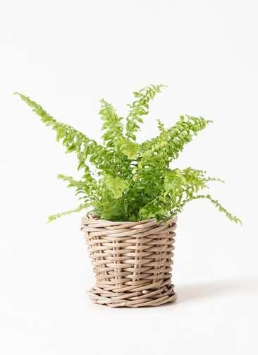 観葉植物 ネフロピレス 3.5号 グレイラタン 付き