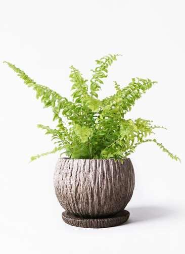観葉植物 ネフロピレス 3.5号 ストーン ウェア セラミック 付き