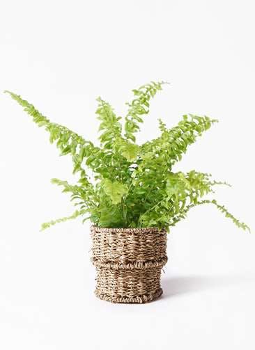 観葉植物 ネフロピレス 3.5号 バスケット 付き