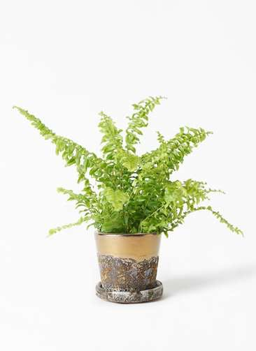 観葉植物 ネフロピレス 3.5号 ハレー ブロンズ 付き