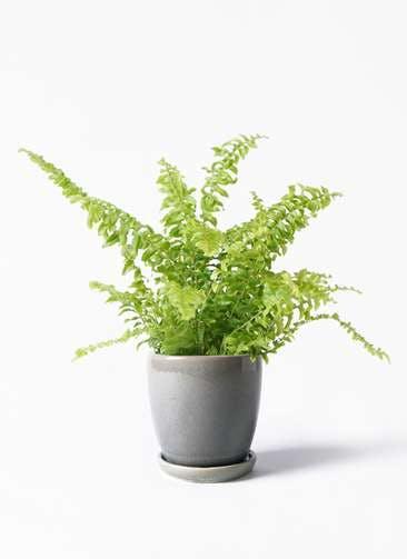 観葉植物 ネフロピレス 3.5号 アステア トール ライトグレー 付き