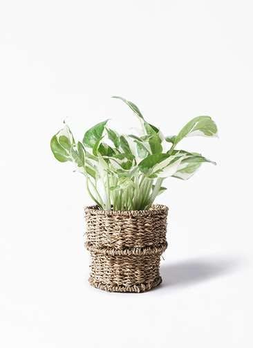 観葉植物 ポトス 3号 バスケット 付き