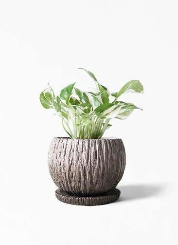 観葉植物 ポトス 3号 ストーン ウェア セラミック 付き