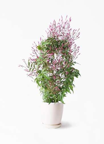観葉植物 ハゴロモジャスミン 4号 アステア トール ホワイト 付き