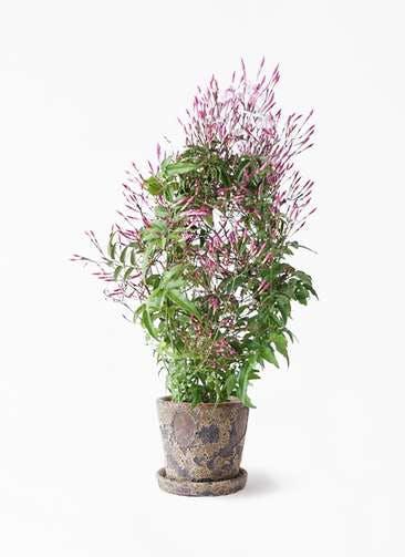 観葉植物 ハゴロモジャスミン 4号 ハレー カーキー 付き
