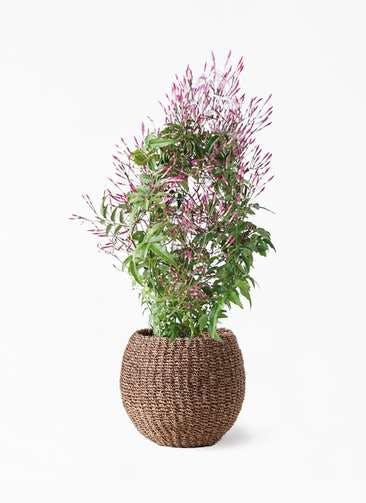 観葉植物 ハゴロモジャスミン 4号 アバカバスケット スモーク 付き