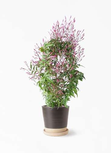 観葉植物 ハゴロモジャスミン 4号 マット グレーズ テラコッタ ブラック 付き