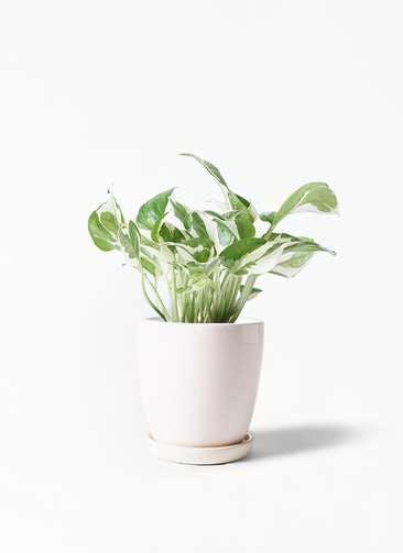 観葉植物 ポトス 3号 アステア トール ホワイト 付き
