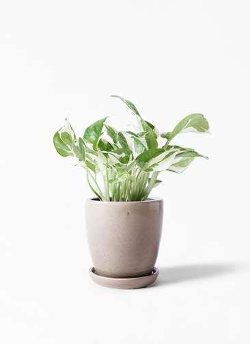 観葉植物 ポトス 3号 アステア トール ベージュ 付き