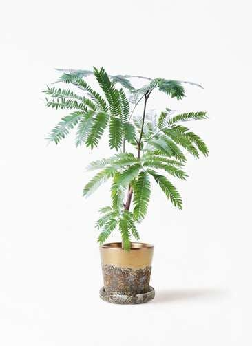 観葉植物 エバーフレッシュ 4号 ボサ造り ハレー ブロンズ 付き
