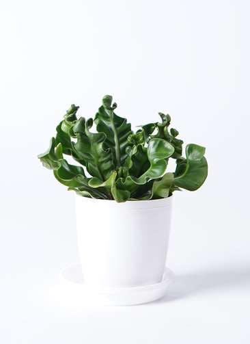 観葉植物 アスプレニウム 4号 プラスチック鉢