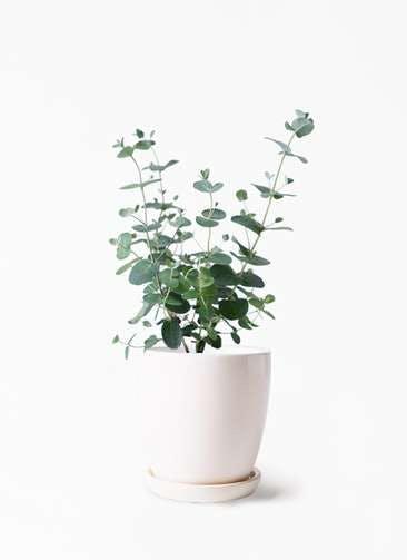 観葉植物 ユーカリ 3号 グニー アステア トール ホワイト 付き