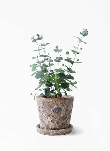 観葉植物 ユーカリ 3号 グニー ハレー カーキー 付き