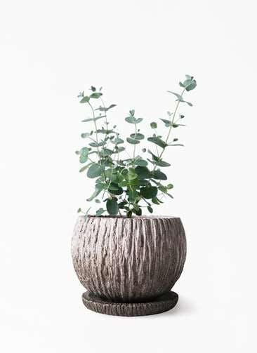 観葉植物 ユーカリ 3号 グニー ストーン ウェア セラミック 付き