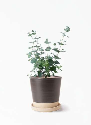 観葉植物 ユーカリ 3号 グニー マット グレーズ テラコッタ ブラック 付き