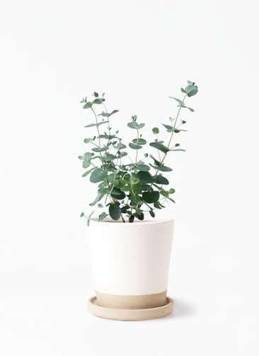 観葉植物 ユーカリ 3号 グニー マット グレーズ テラコッタ ホワイト 付き