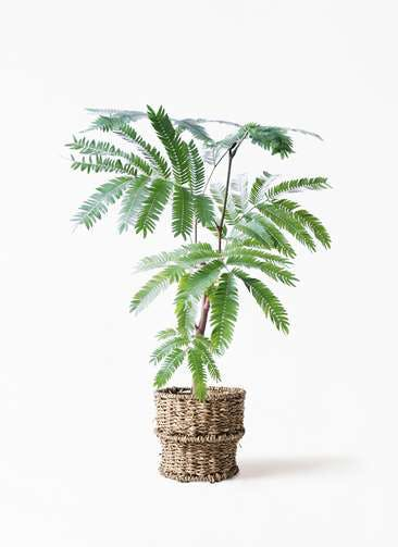 観葉植物 エバーフレッシュ 4号 ボサ造り バスケット 付き