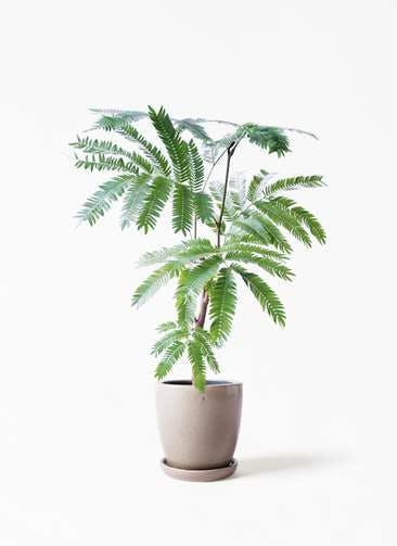 観葉植物 エバーフレッシュ 4号 ボサ造り アステア トール ベージュ 付き